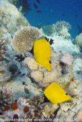 Vilamendhoo Butterflyfish