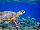 Vilamendhoo Turtle Snorkeling