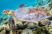 Vilamendhoo Turtle