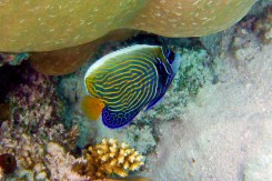 Emperor Angelfish-1
