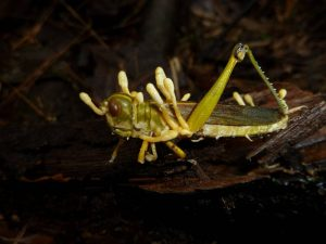 Cordyceps Emerging From a Cricket