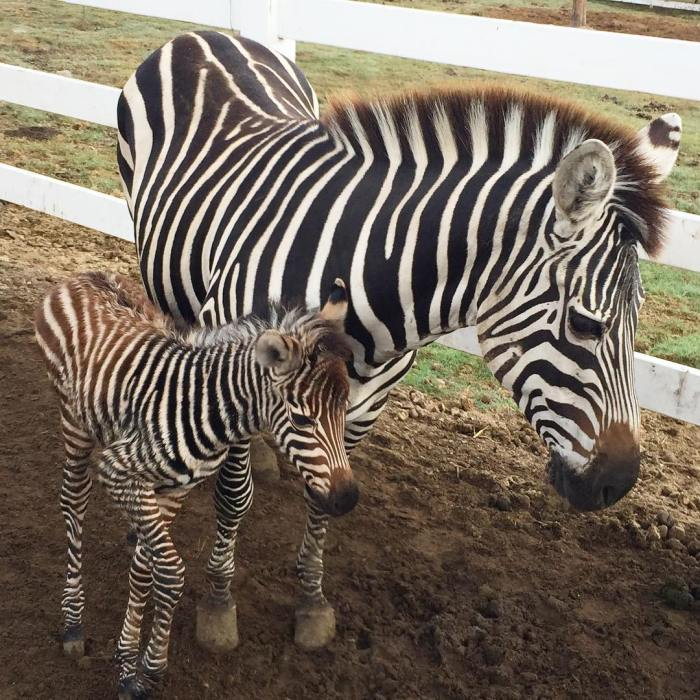 New Baby Zebra Born Today at Saddlerock Ranch Malibu Wine Safaris