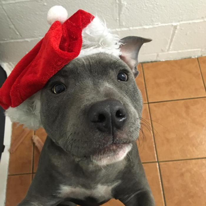 10-cute-holiday-puppies-lowermillkennelsandcattery-1-12-22-2016-1