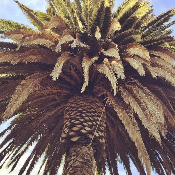 Topanga Ranch Palm Tree 🌴