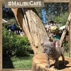 ᗰᑌᖇᑭᕼY ᗷᒪᑌE the French Bulldog Puppy at The Malibu Cafe🐶