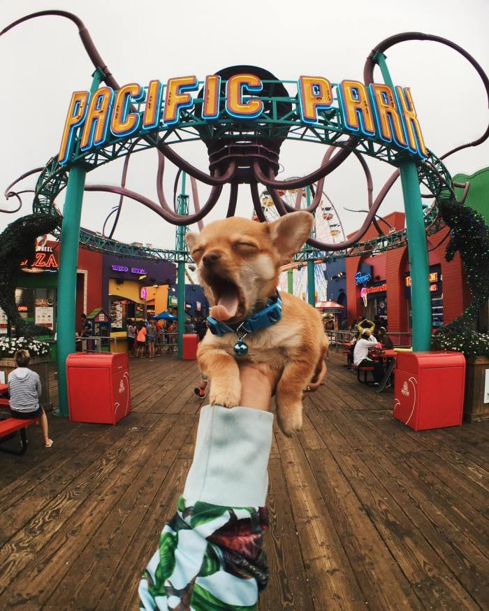 Happy Tongue Out Tuesday! Boomer the Explorer at the Santa Monica Pier