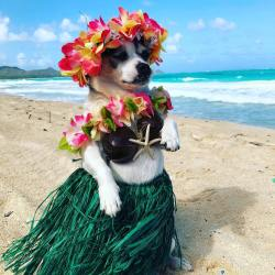 Bali the Hawaiian Hula Dog on Waikiki Beach