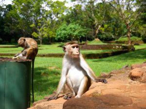 Sri Lanka Sigiria Monkey malindkate