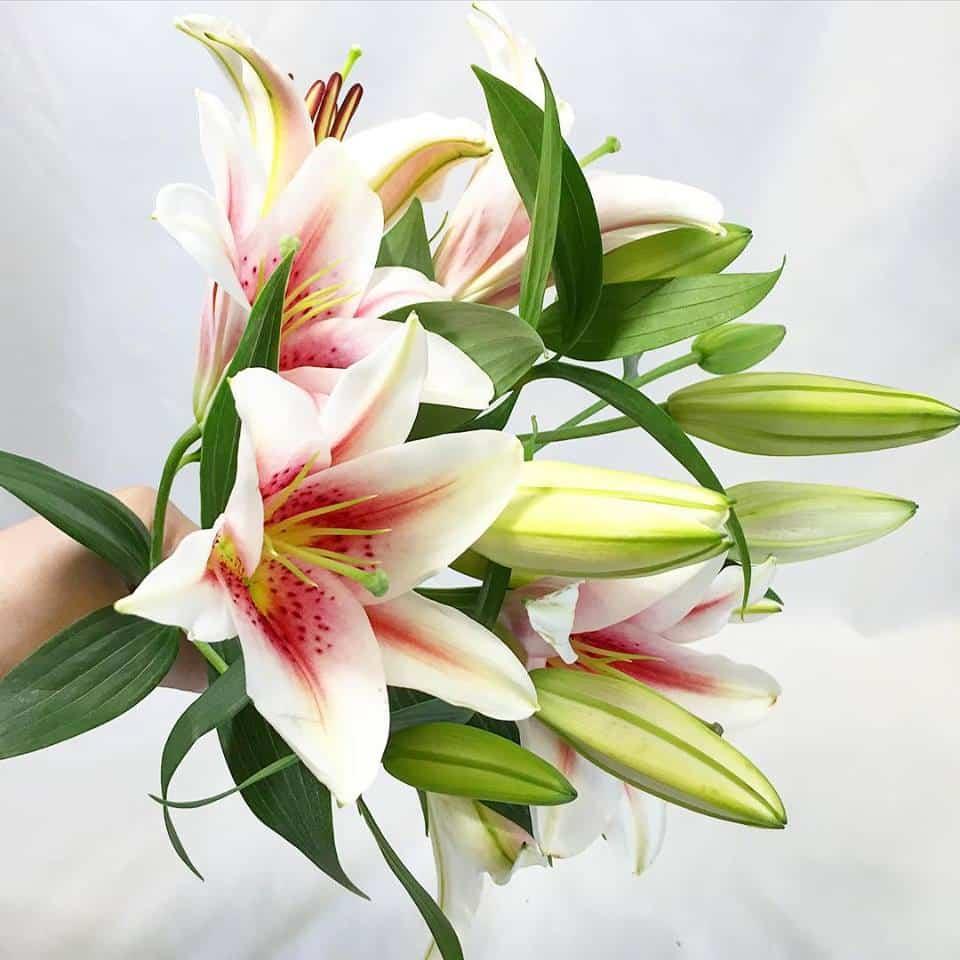 Oriental Lilies Flowers 1 Bunch