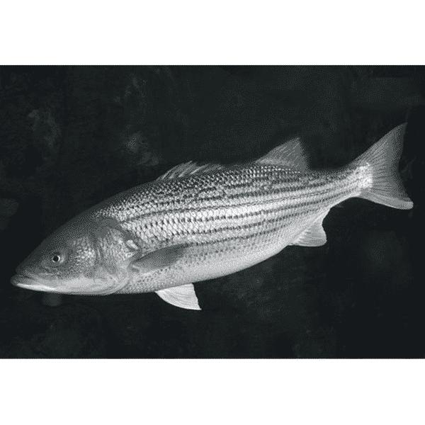 Live Striped Bass 活鲜银鲈鱼 1.3-1.5 LB