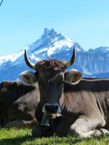 [cml_meya_alt itz='260']Vaca en zona de montanya[/cml_meya_alt]