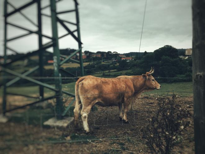 vaca bc3