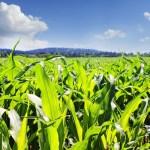 Europa dice no al cultivo de nuevas variedades de maíz transgénico