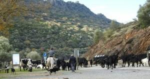 Rebaño trashumante en los alrededores del P.N. de Monfragüe (Cáceres).