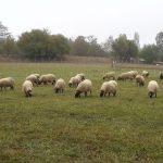 Innovando por a sostenibilidat d'ovinos y caprinos en o Mediterranio