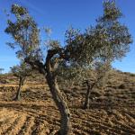 El día que apadriné un olivo