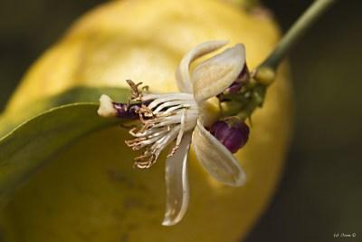 Zitrone, Citrus