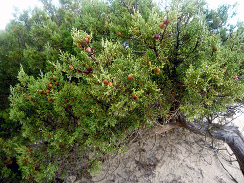juniper_berries