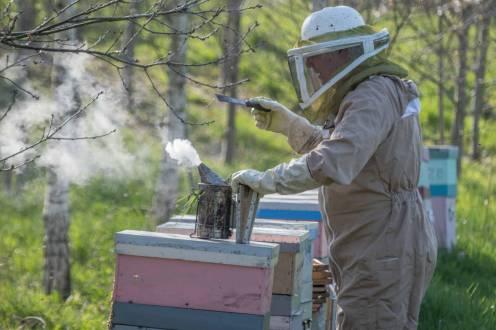 Charles enfume ses abeilles pour les calmer