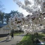 "Cherry Blossom ""Sakura"" is very beautifl but I hate Spring"