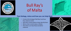 Bull Rays in Maltese islands