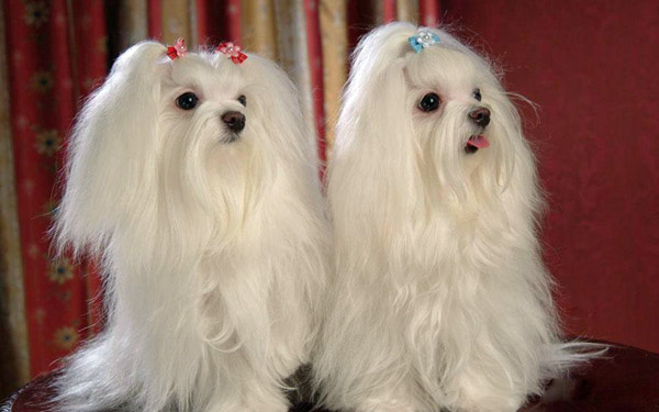 Maltese twins!