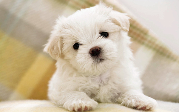 Sweet Maltese Puppy