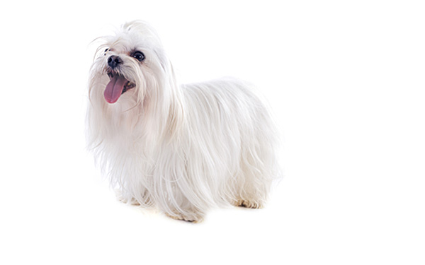 Lovely adult Maltese