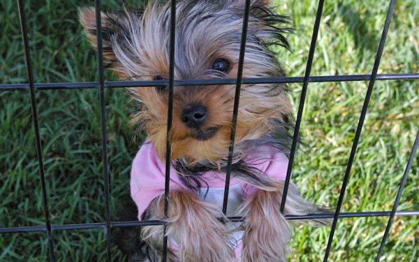 Yorkshire Terrier pup in a cage outside
