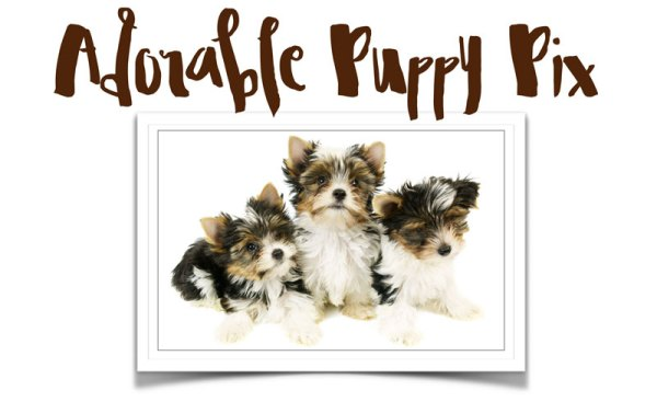 adorable morkie puppy pictures
