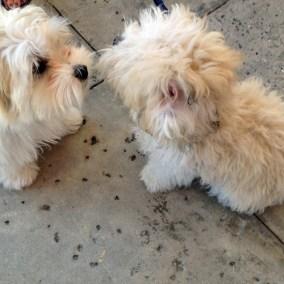 morkie-puppy-morkies-107