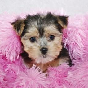 morkie-puppy-morkies-108