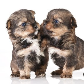 morkie-puppy-morkies-114
