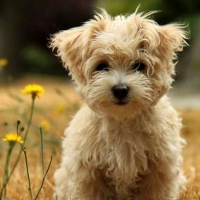 morkie-puppy-morkies-117