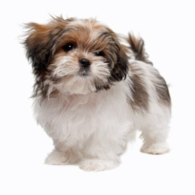 morkie-puppy-morkies-119