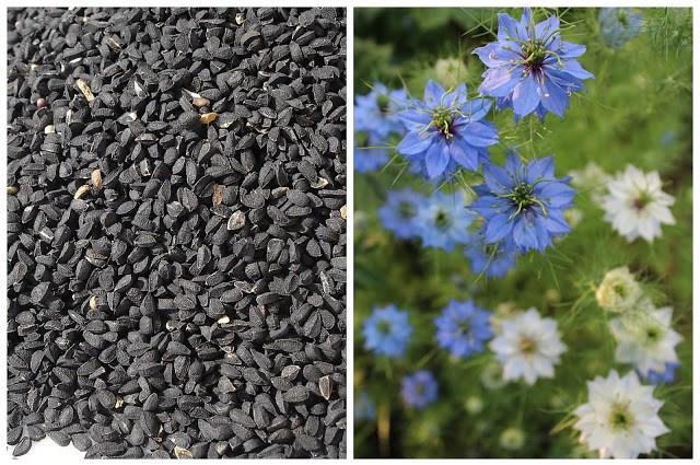 Nasiona i kwiaty czarnuszki
