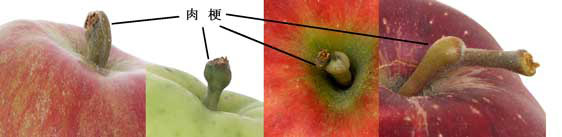 りんごの外観