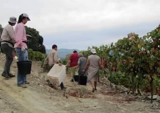 The pickers head into the vines, Arlindo with them to distribute the crates