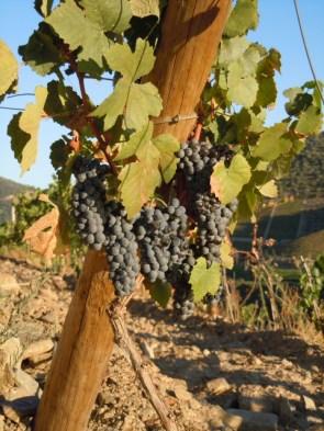 Grapes at Quinta do Tua