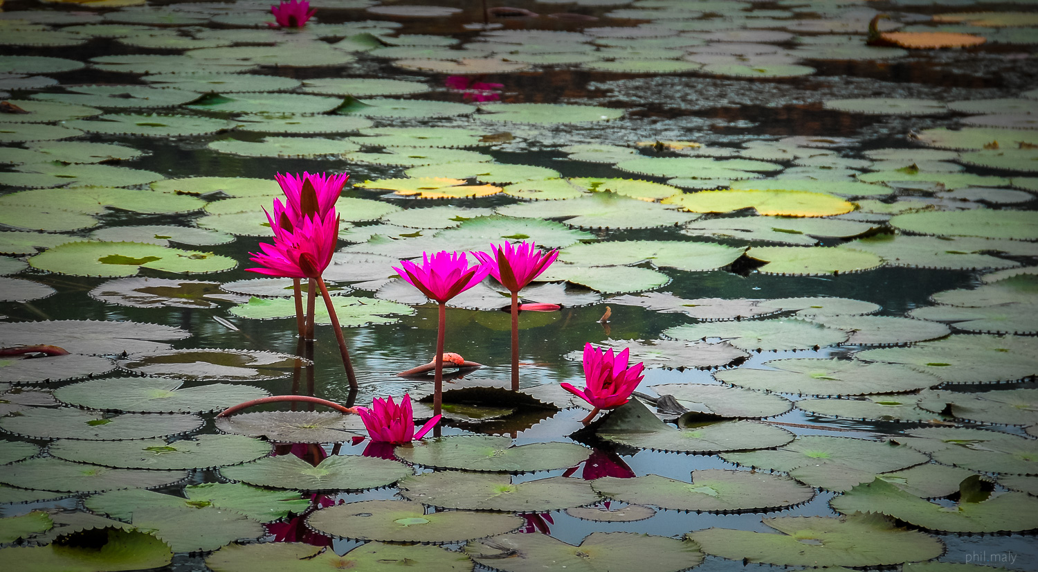 Purple flowers in the waters of a pond of Phitsanulok
