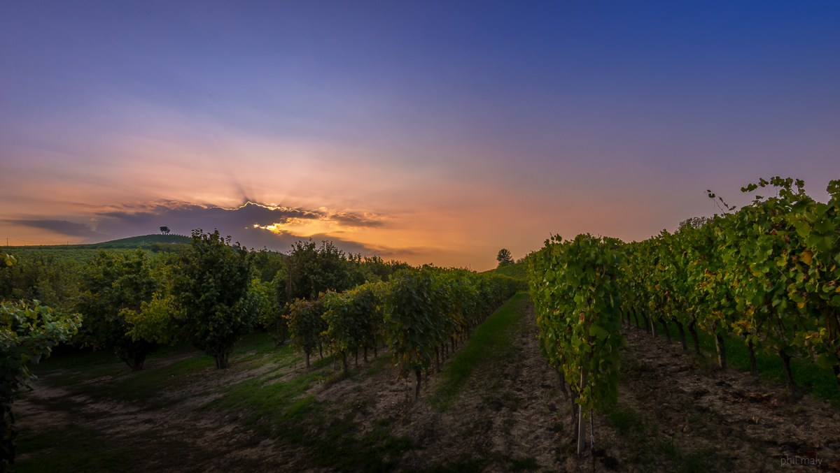 The vineyards of the Azienda Agricola Cadia at sunset