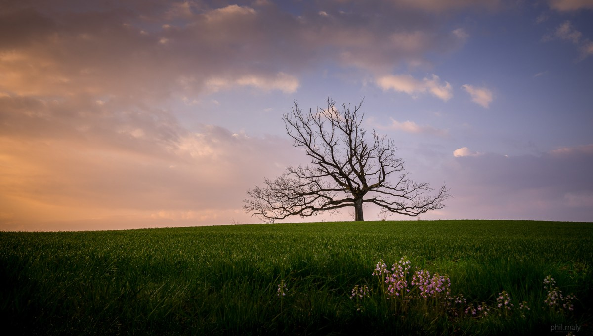 Dead dry tree at sunset with purple flowers in the foreground