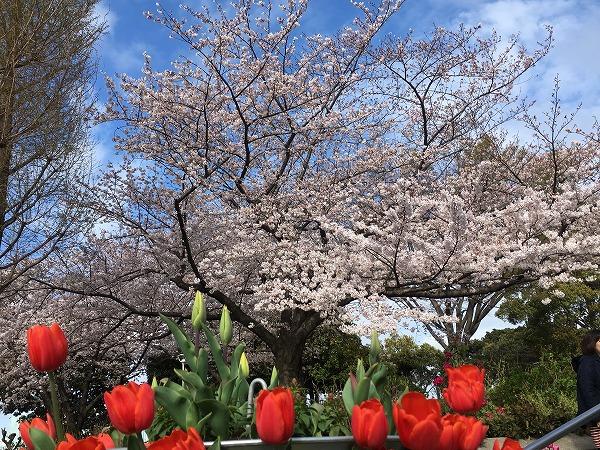 山下公園水の階段の桜