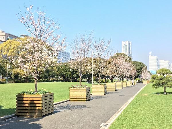 山下公園芝生エリアの桜
