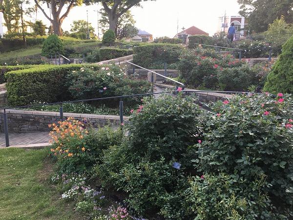 港の見える丘公園のバラ開花状況