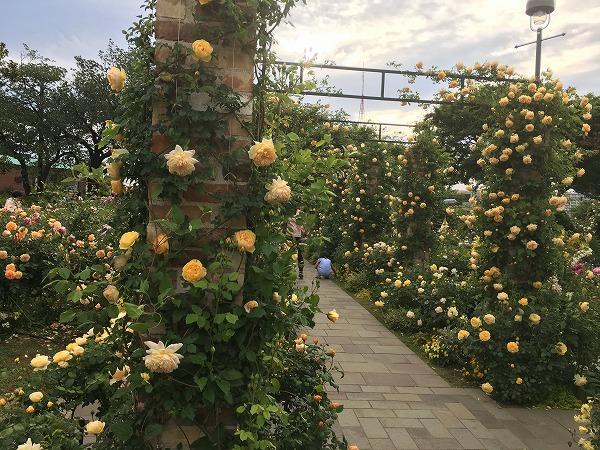 港の見える丘公園のバラ開花状況2018