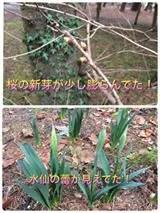 水仙と桜のつぼみ