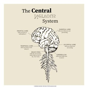 central nervous system diagram