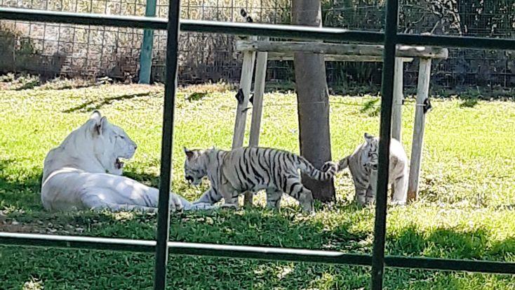 Tres tigres.