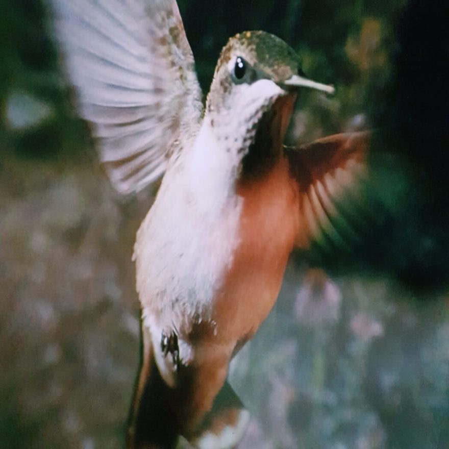 backyard wilderness kolibri Mamameteenblog